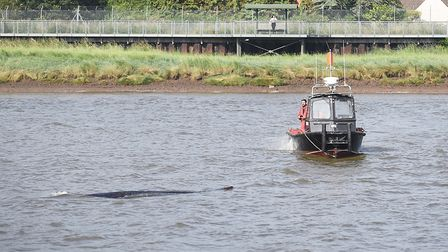 A Fin Whale was spotted in the River Ouse in King's Lynn on Thursday morning. Picture: Ian Burt
