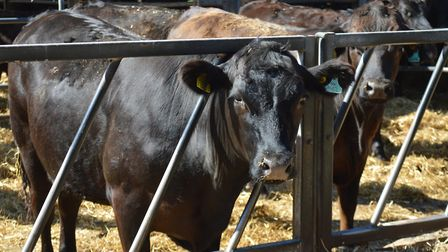 Beckhithe Farms at Reedham, which supplies beef to Waitrose. Pictured: Cattle in the yard. Picture: