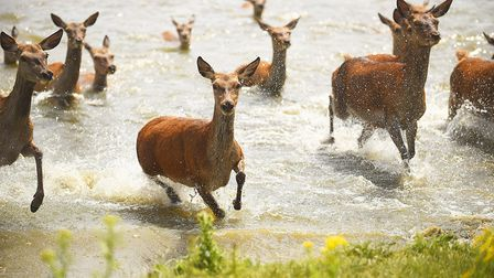 Red Deer keeping cool in the heat at Snettisham Park. Picture: Ian Burt
