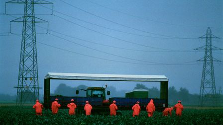 Migrant workers harvesting cabbages near Boston Picture: Si Barber
