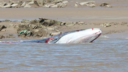 Fin whale in the river at King's Lynn. Photo: James Lowen
