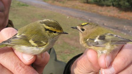 Pallas's warbler and goldcrest photographed at Weybourne Camp by Moss TaylorPhoto: MOSS TAYLOR