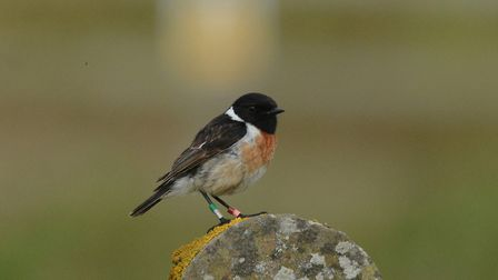 Stonechat photographed at Weybourne Camp by Moss TaylorPhoto: MOSS TAYLOR