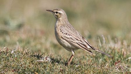 A tawny pipit photographed at Weybourne Camp by Moss TaylorPhoto: MOSS TAYLOR