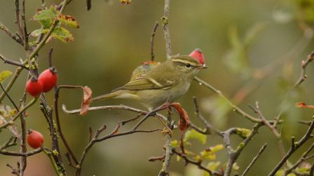 Yellow-browed warbler photographed at Weybourne Camp by Moss TaylorPhoto: MOSS TAYLOR
