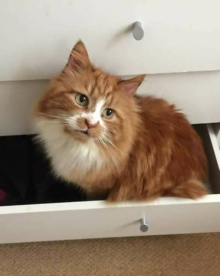 Have you seen missing Samson? (Image: Lost & Found Cats Norwich)