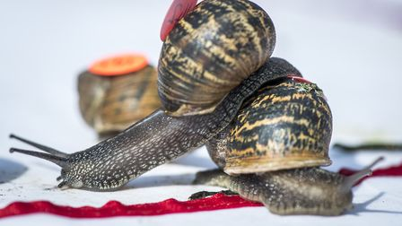 Action from the World Snail Racing Championships. Picture: Matthew Usher.
