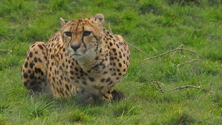 The 50th anniversary of Banham Zoo. One of the cheetahs. Picture: Denise Bradley
