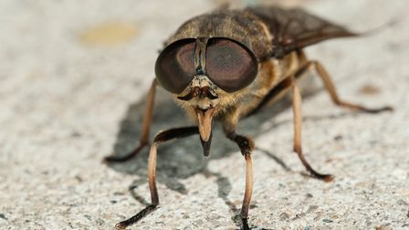 Female Horsefly (Tabanus sudeticus). Picture: Getty Images/iStockphoto