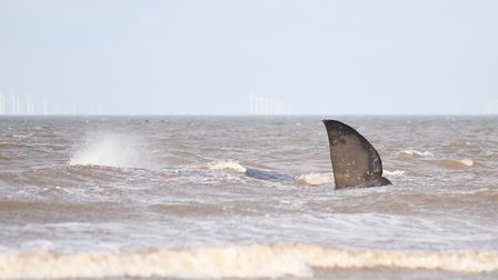 A whale which stranded at Old Hunstanton in 2016. Picture: Ian Burt
