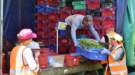 Workers at Kemp Herbs near Thetford. Picture: Sonya Duncan