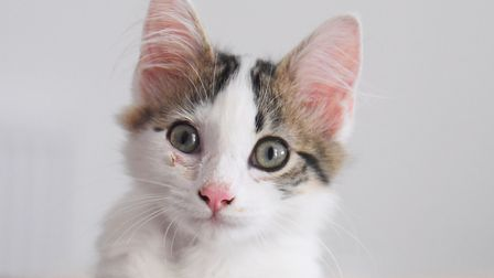 Otto, the 12-week-old kitten bought by Kelly Milsom. Picture: DENISE BRADLEY