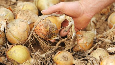 Norfolk onions. Picture: James Bass