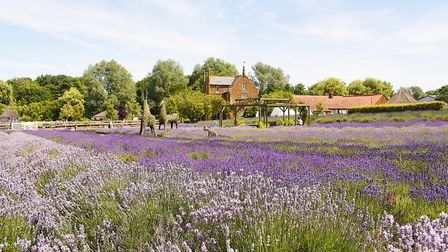 The lavender in full colour outside Caley Mill in Heacham.Picture: Ian Burt