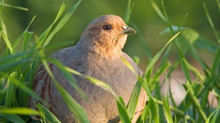 Grey partridge numbers have been a steep decline putting the species on the red-list. Picture: David