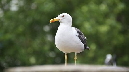 Seagulls are said to be behaving more aggressively than usual in the market place Picture :