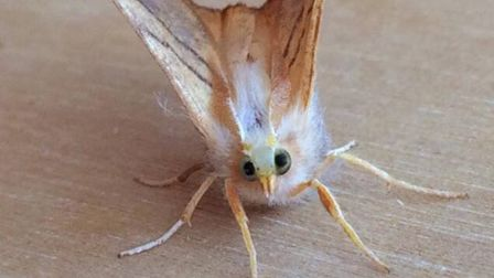 The striking image of a Dusky Thorn moth captured by Norfolk photographerTrevor Mayes on his phone.