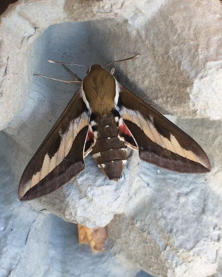 Bedstraw Hawk-moth, a rare visitor to the UK, also pictured near Diss. Picture: Trevor Mayes