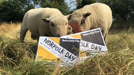 Farming scenes from Norfolk Day. Southdown sheep in Wymondham eating out of their EDP Norfolk Day ha