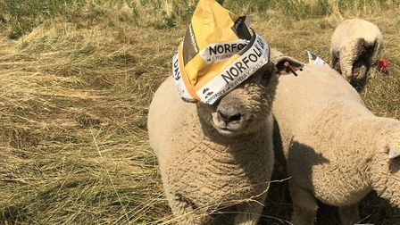 Farming scenes from Norfolk Day. Southdown sheep in Wymondham keeping cool in their EDP Norfolk Day