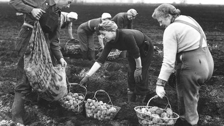 Farm workers planting potatoes at Hockwold in 1953. Picture: Archant Library