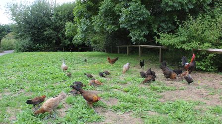 Chickens on the Ensign Way housing estate. Picture: Marc Betts