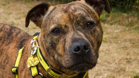 Spudley is looking for a new home. Picture: Dogs Trust