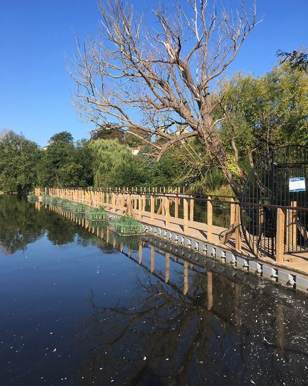 The dead tree overhanging the boardwalk at Dere Mere that has been deemed a risk to the public. Pict