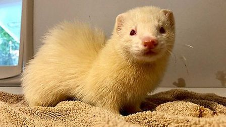 Three ferrets have be abandoned in west Norfolk. Picture RSPCA.