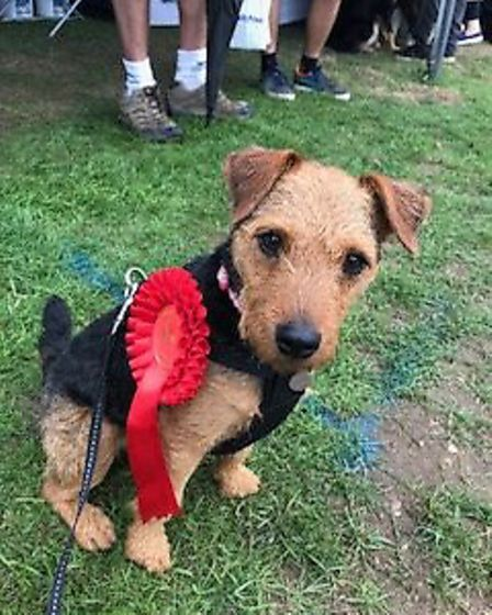 Tess, a lakeland cross patterdale who won first prize in Heinz 57, at All About Dogs Show 2018 at th