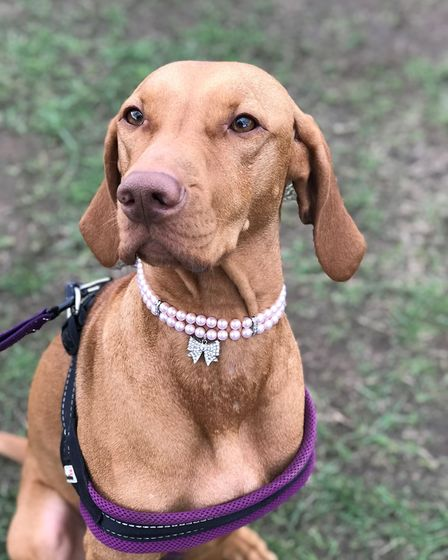 Arla the Vizsla at All About Dogs Show 2018 at the Norfolk Showground. Photo: Holly Jacobs