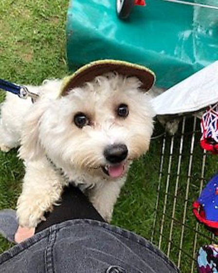 Milo enjoying trying on the hats at the All About Dogs Show 2018 at the Norfolk Showground. Photo: S