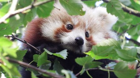 Red pandas are listed as an endangered species. Picture: Banham Zoo