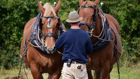 The Gressenhall Farm and Workhouse heavy horses experience day. Reg, left, and Jimbo, the Suffolks,