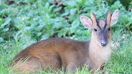 A muntjac deer in a garden near the centre of King's Lynn Picture: Chris Bishop
