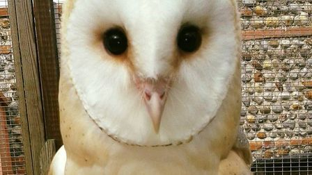 Dusk, a hand reared barn owl, has escaped from Wild Touch rescue centre in North Walsham. Photo: Wil