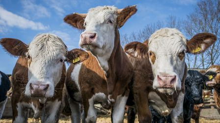 Beef cattle in the Wensum valley. Picture: Matthew Usher.