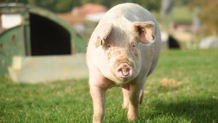 An outdoor sow on a Norfolk farm. Picture: Ian Burt