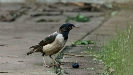The Rose-Coloured-Starling in New Costessey. Picture: Trevor Hannant/Twitter