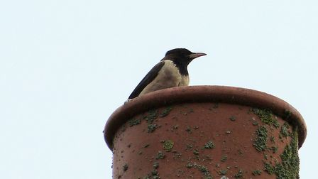 The Rose-Coloured-Starling in New Costessey. Picture: Norfolkbinder/Twitter