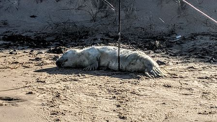 First grey seal pup of season. Pictures: National Trust