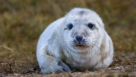 First grey seal pup of season born at Blakeney Point. Pictures: National Trust
