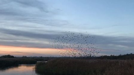 A a murmeration of starlings is basically a mass aerial stunt of thousands of birds all swooping and