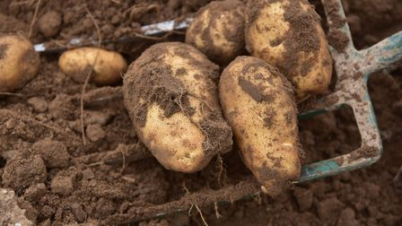 Potato yields were down 18pc in the East this year after the summer heatwave, says the AHDB. Picture