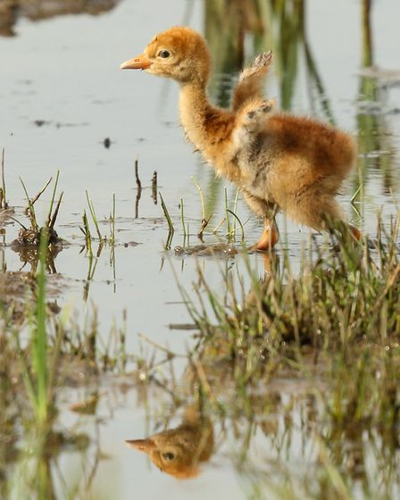 A crane chick shortly after hatching. Picture: Mark Hughes/WWT