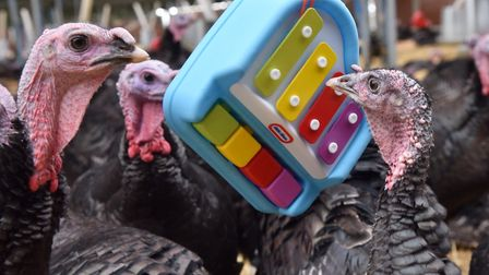 Free range Christmas turkeys enjoy a bit of musical enrichment at Traditional Norfolk Poultry in Shr