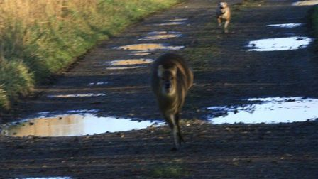 The Chinese Water Deer being chased by a dog off its lead on Carlton Marshes. Picture: Suffolk Wildl