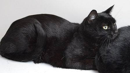Allspice is one of four cats who came to the rescue centre after their owner died. Photo: RSPCA East