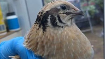 The bird, believed to be a domestic Japanese quail, was discovered in a garden at School Lane in Spr