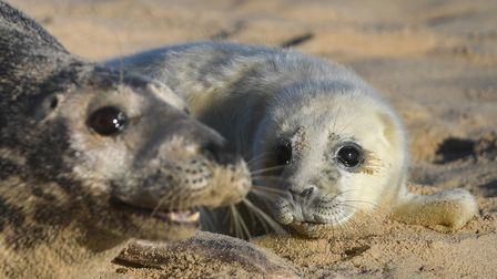A grey seal with her newborn pup the beach at Horsey in Norfolk, where the pupping season is now in